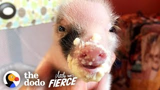Download Tiniest, Cutest Pig Ever Grows Up FEISTY | The Dodo Little But Fierce Video