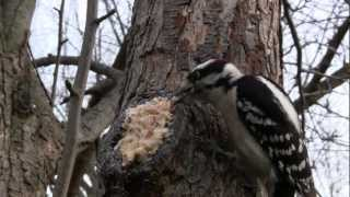Download Backyard birding: Make every tree a bird feeder Video