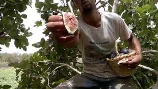 Download How we make sun dried figs in Morocco Video