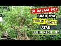 Download Bonsai Beringin Saat Berbuah, Akar Keliling Dan Batang Super gede.!! Video