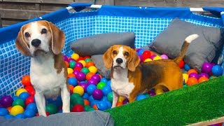 Download Pool to Ball Pit after Summer : Funny Dogs Louie and Marie Video