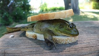 Download Making a FROG Sandwich - Catch n' Cook Bullfrogs! Video