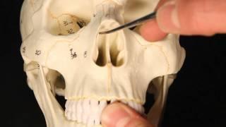Download Ethmoid Bone Video