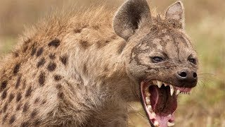 Download Original Owner Surprises HYENA on its 4 year old birthday! 🐾 Video