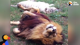Download Tiger and Lion Rescued from Breeding Ligers Retire Together | The Dodo Odd Couples Video