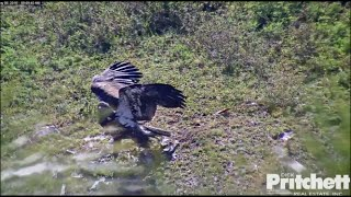 Download SWFL Eagles ~ E8 Discovers the Ground First Time! 5.6.16 Video