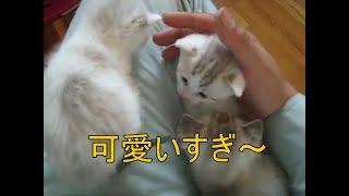 Download 抱っこするとニャーニャーが止まるかわいい子猫達! Cute little Kitty hug, rest assured Video