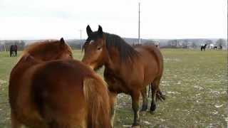 Download 말 ,말들 ,Horses, Pferde ,Cavalli ,Cavalos ,Konie ,Caballos ,лошади ,atlar ,lovak,άλογα ,马匹 ,馬 ,ม้า ,马 Video