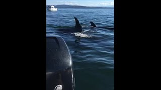 Download Killer whales hunting seal that jumps into boat (combined video) Video