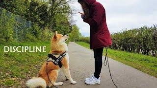 Download Akita Inu - Discipline (秋田犬) Video