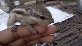 Download Beautiful squirrel (gilhari) Video