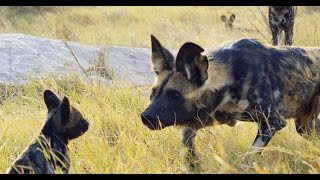 Download Robotic Spy Puppy Meets Wild Dogs Video