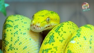 Download Reptil TV - Folge 50 - Morelia viridis / Chondro / Grüner Baumpython - Teil 1 Video