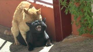 Download Gatos apareandose.impresionantes maullidos de la hembra.(HD) Video