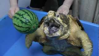 Download ワニガメ スイカ割り Alligator snapping turtle snaps Water melon off Video