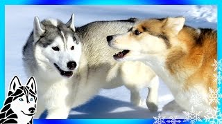 Download DOGS ATTACKED BY OTHER DOGS ? | #AskGTTSD 288 | Siberian Husky Video