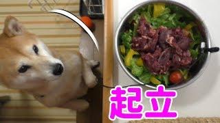 Download 柴犬小春 大崩壊でも鹿肉は二本足で待つ!【ASMR】 Video