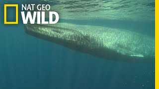 Download Blue Whales 101 | Nat Geo Wild Video