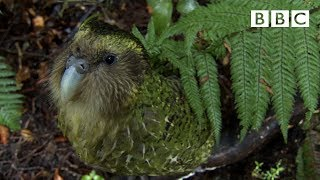 Download The cute and clumsy flightless parrot | Natural World: Nature's Misfits - BBC Video