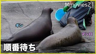 Download 順番を待つ ゴマフアザラシの給餌 Spotted Seal Feeding Video