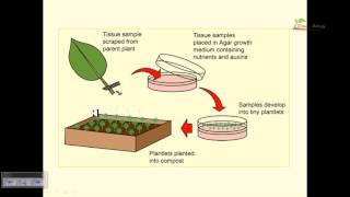 plant tissue-mikro çoğaltım-bitki doku kültürü-heypericium