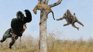 Download Leopard vs Cheetah, Hero Monkey Rescue Antelope From Cheetah hunting - Wild Animals 2018 Video