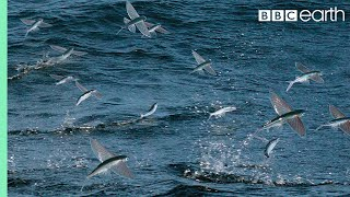 Download Flying Fish Picked Off From Above And Below | The Hunt | BBC Earth Video