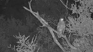 Download Djuma: Verreaux's Eagle Owl roosting in tree - 23:05 - 03/22/19 Video