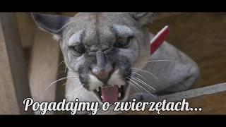 Download CIEKAWOSTKI O HODOWLI PUMY W DOMU Video