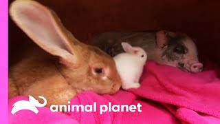 Download An Unexpected Friendship Between a Rabbit and a Micro Pig! | Too Cute! Video