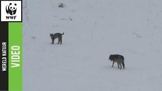 Download Kijk wat er gebeurt als een wolf en lynx elkaar ontmoeten! Video