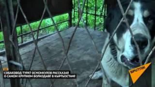 Download Самый большой волкодав в Кыргызстане — его щенков купил Миша Галустян Video
