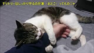 Download パパの腕にしがみついてボコボコ猫キックを食らわす猫リキちゃん・・・反省する姿がかわいい!【リキちゃんねる 猫動画】Cat videos キジトラ猫との暮らし Video