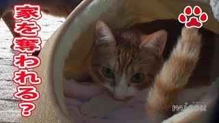 Download 仔猫に試練。らな家を守れるか【瀬戸のらな日記】Lana,Protect the house Video
