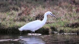 Download BTO Bird ID - Little Egret and Great White Egret Video