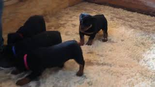 Download Rottweiler Puppies For Sale Brian Walton Video