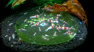 Download Crystal Red Shrimp Optimal Conditions 🦐 Marks Shrimp Tanks 🦐 Video