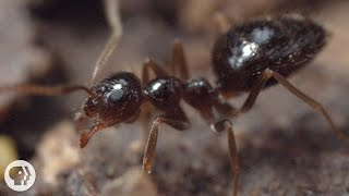 Download Winter is Coming For These Argentine Ant Invaders | Deep Look Video