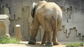 Download アフリカゾウの泥水かけ @東山動物園 Video