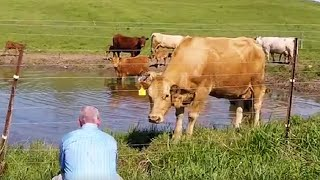 Download Cow asks man to rescue her newborn calf Video