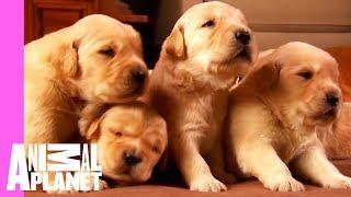 Download Growing Up Golden: Golden Retriever Puppies | Too Cute! Video