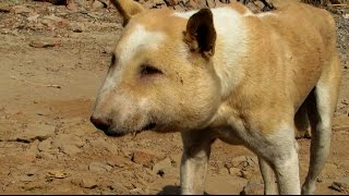 Download Street dog suffering from huge abscess saved! Video