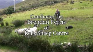 Download Brilliant Sheep Herding Demonstration Using Border Collies Video