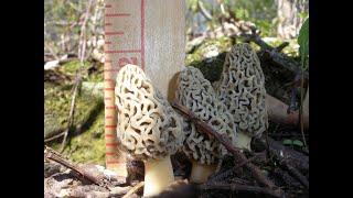 Download How do I find Morel Mushrooms? - Morel Truths: Episode 4 Video