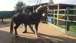 Download A simple way to harness a horse - how to put harness on - Barry Hook, Horse Drawn Promotions Video