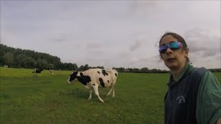Download Cows, cows & more cows Video