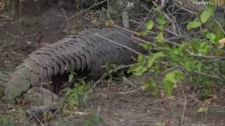 Download It's world pangolin day and WE celebrate by reliving our first LIVE sighting - #safariLIVE Video