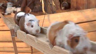 Download Guinea Pig Bridge at the Nagasaki Bio Park - song by Parry Gripp Video