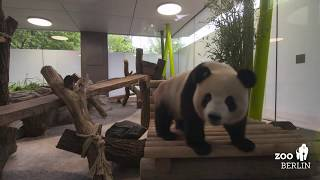 Download Die Pandas fühlen sich pudelwohl - Giant Pandas settling in well Video