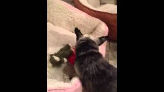 Download Puppy Mill Survivor Learns to Play - National Mill Dog Rescue Video
